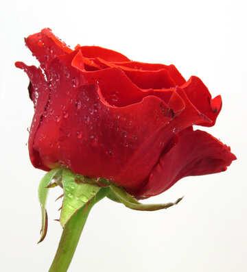 Living Rose №17102