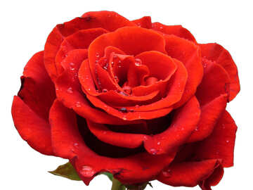Rose flower in white background №17096