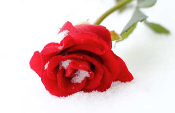 Snow and rose №17825