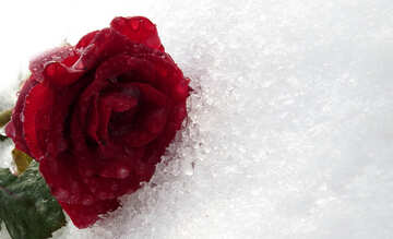 Karte mit Rose im Schnee №17006
