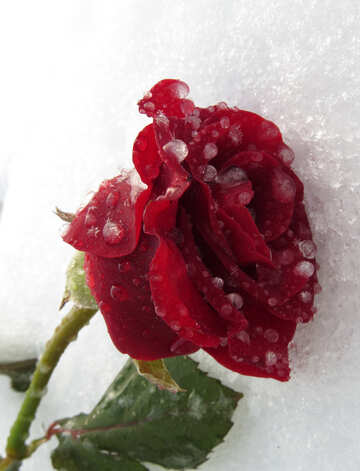 Frozen beautiful rose №17022