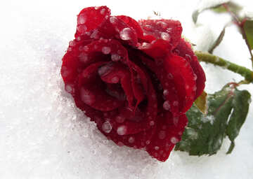 Frozen rose with drops №17012