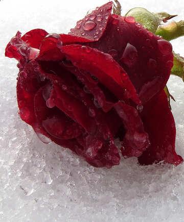 Rose Ice №17007