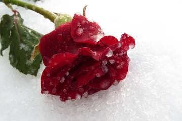 Ice Rose №17013