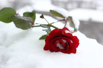Red Rose winter snow №17829