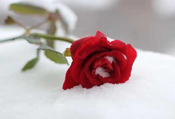 Rose nella neve №17821