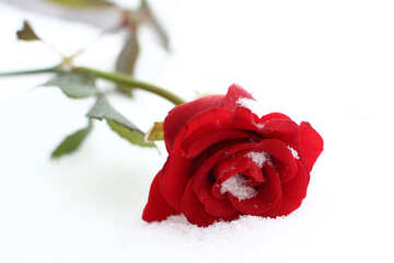 Roses in the snow №17826