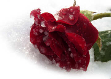 Shattered Rose №17014