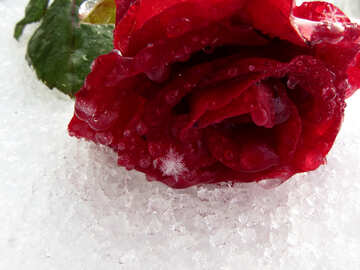 Snowflakes on red rose №17003