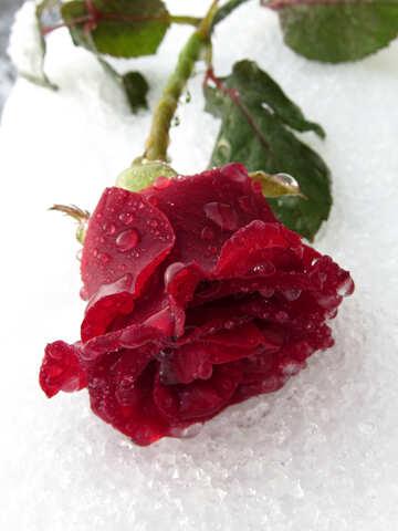 Winter rose №17010