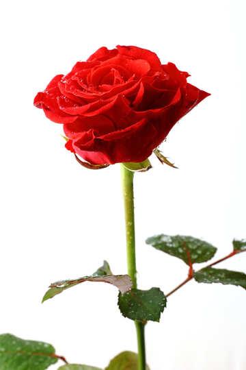 Rose №17036