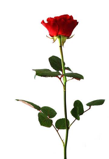 Rosa interamente №17073