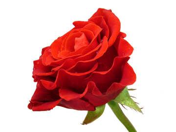 Living rosa №17105