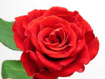 Svolgersi Rose №17133