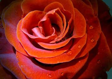 Dew on rose petals №17119