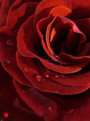 Drops on the petals №17120