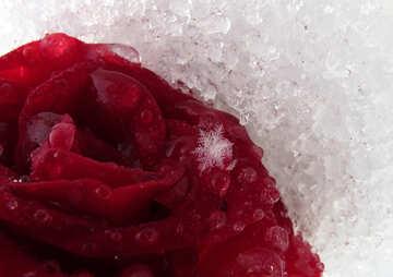 Schneeflocke auf Rosenblüten №17004