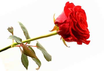 Rote Rose №17049