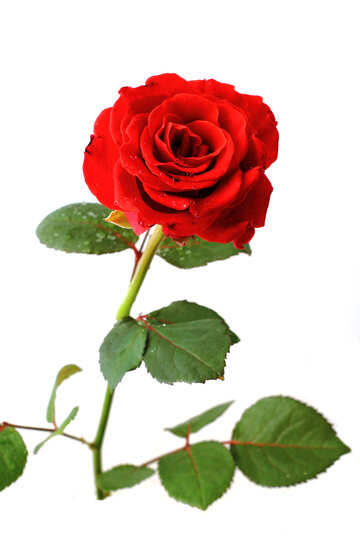 Red beautiful rose №17031