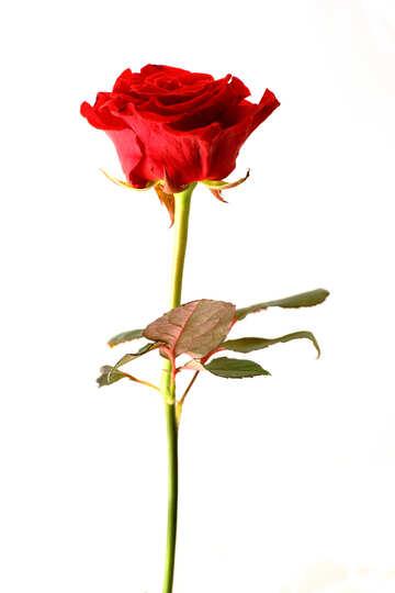 Lange rote Rose №17063