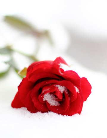 Rote Rosen im Schnee №17824