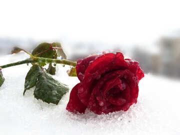 Red Rose im Schnee №17011
