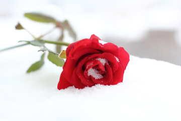 Rote Rose auf weißem Schnee №17827