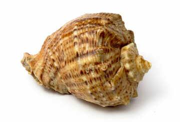 Shell Rapana №17391