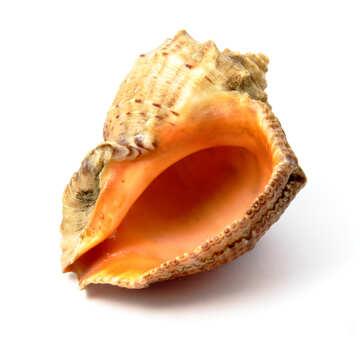 Rapana seashell on white background №17389