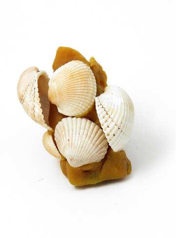 Shells on plasticine №17321