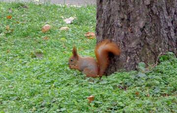 Eichhörnchen mit Nuss №17679