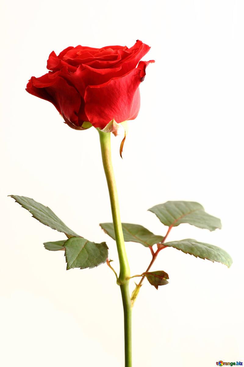 Цветок на 8 марта  №17051