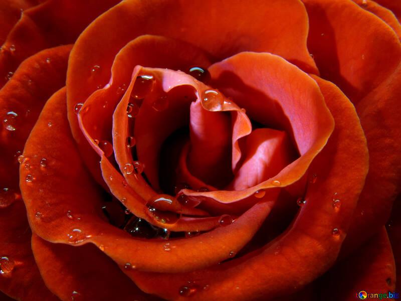 Rose close-up №17086