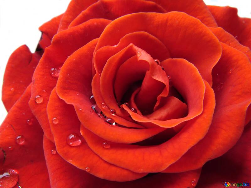 Fiori Rosa Con Gocce Di Rugiada Una Rosa Con Gocce Rosa 17115
