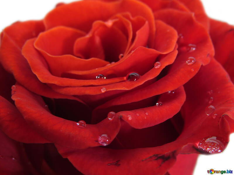A rose with drops №17124