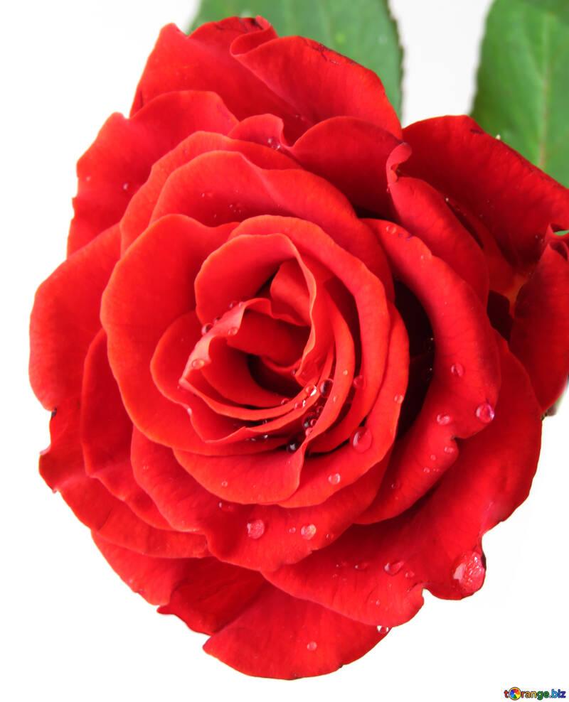Роза с каплями №17134