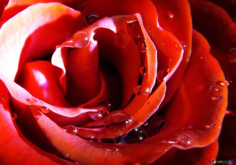 Rosa brillante №17087