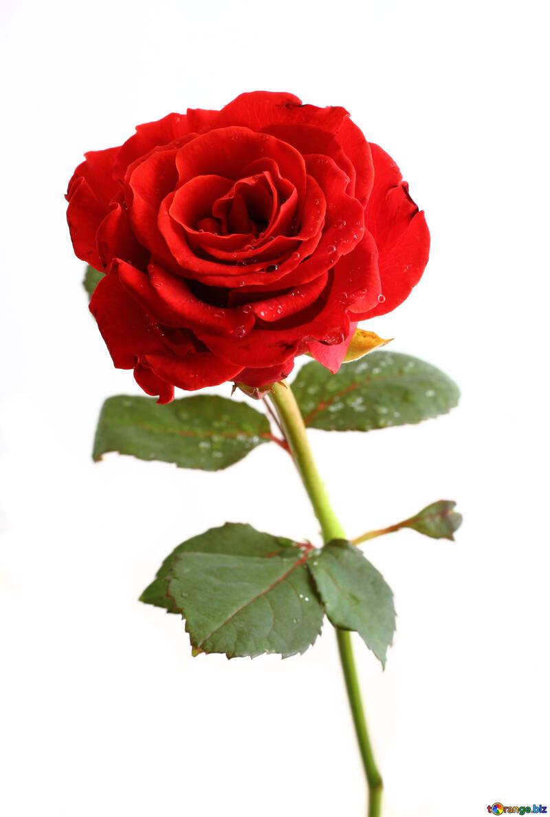 Water drop on rose №17033