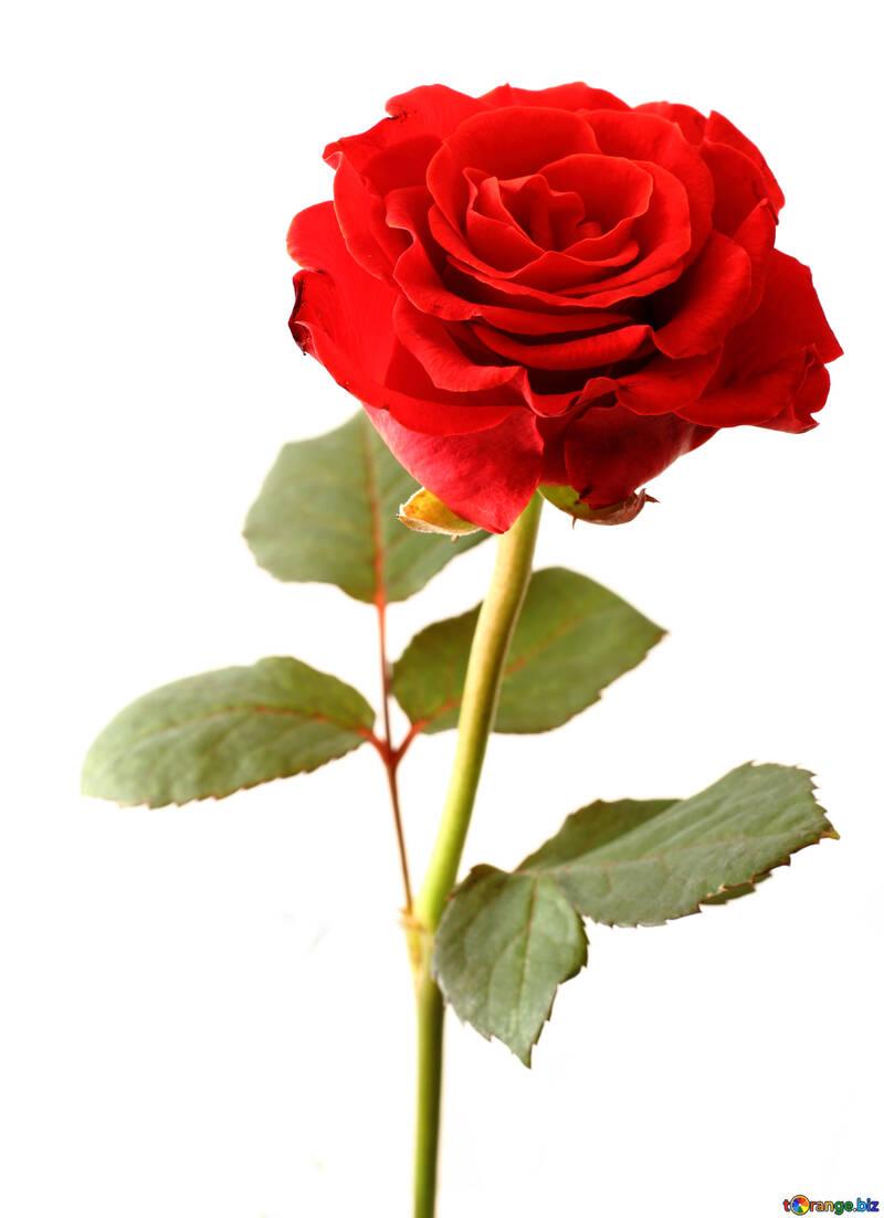 Blooming Rose №17042