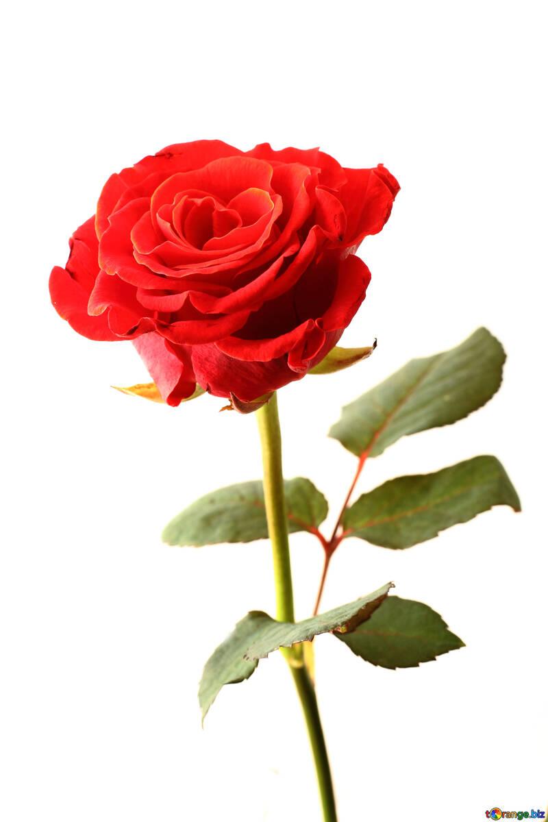 Una rosa №17043