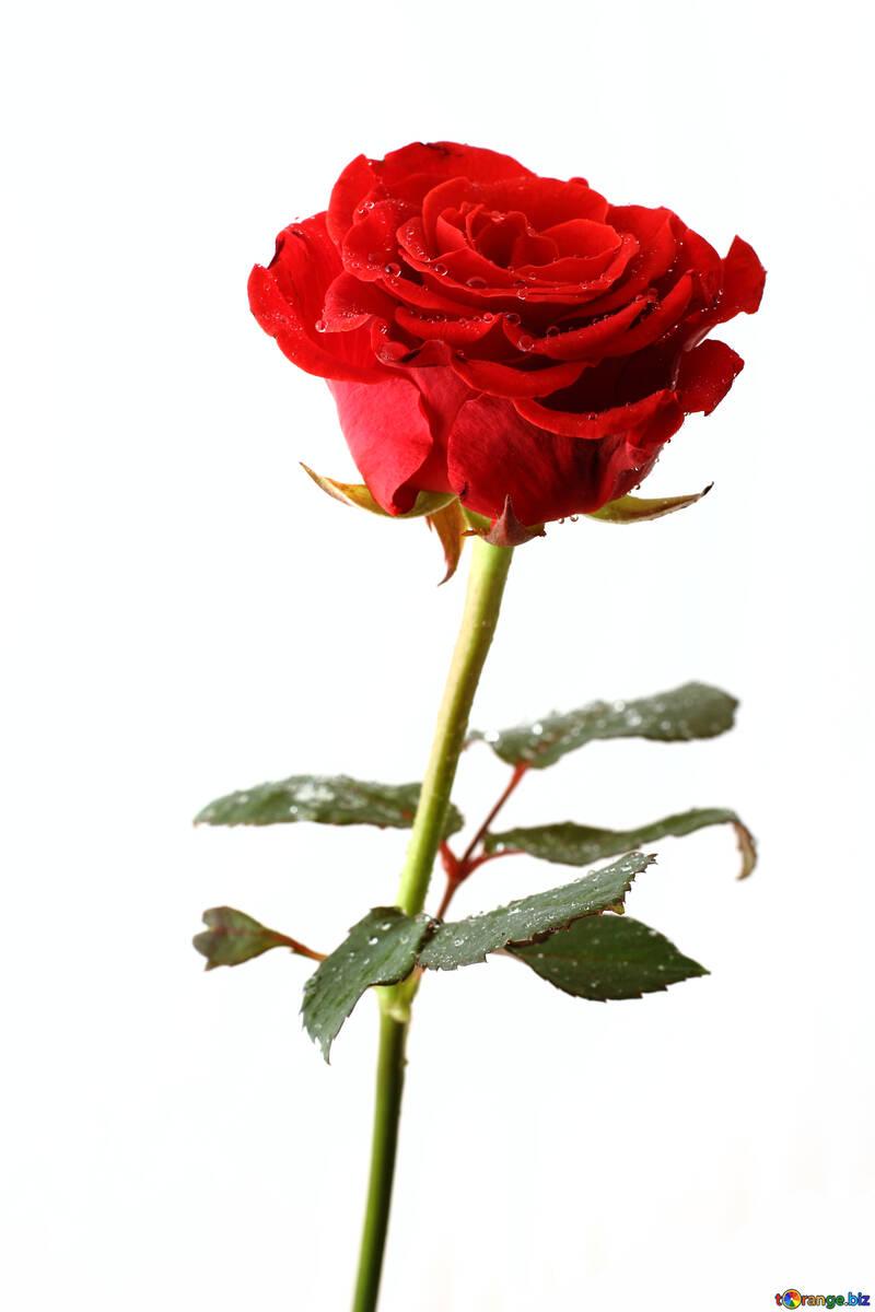 Elegant Rose №17038