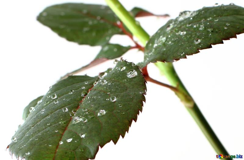 Листья розы №17034
