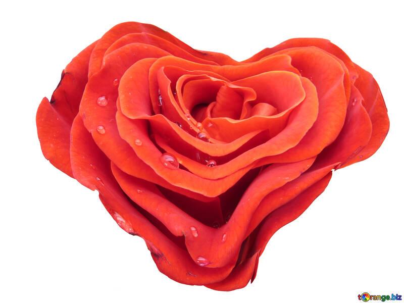 Rose in der Form des Herzens №17027