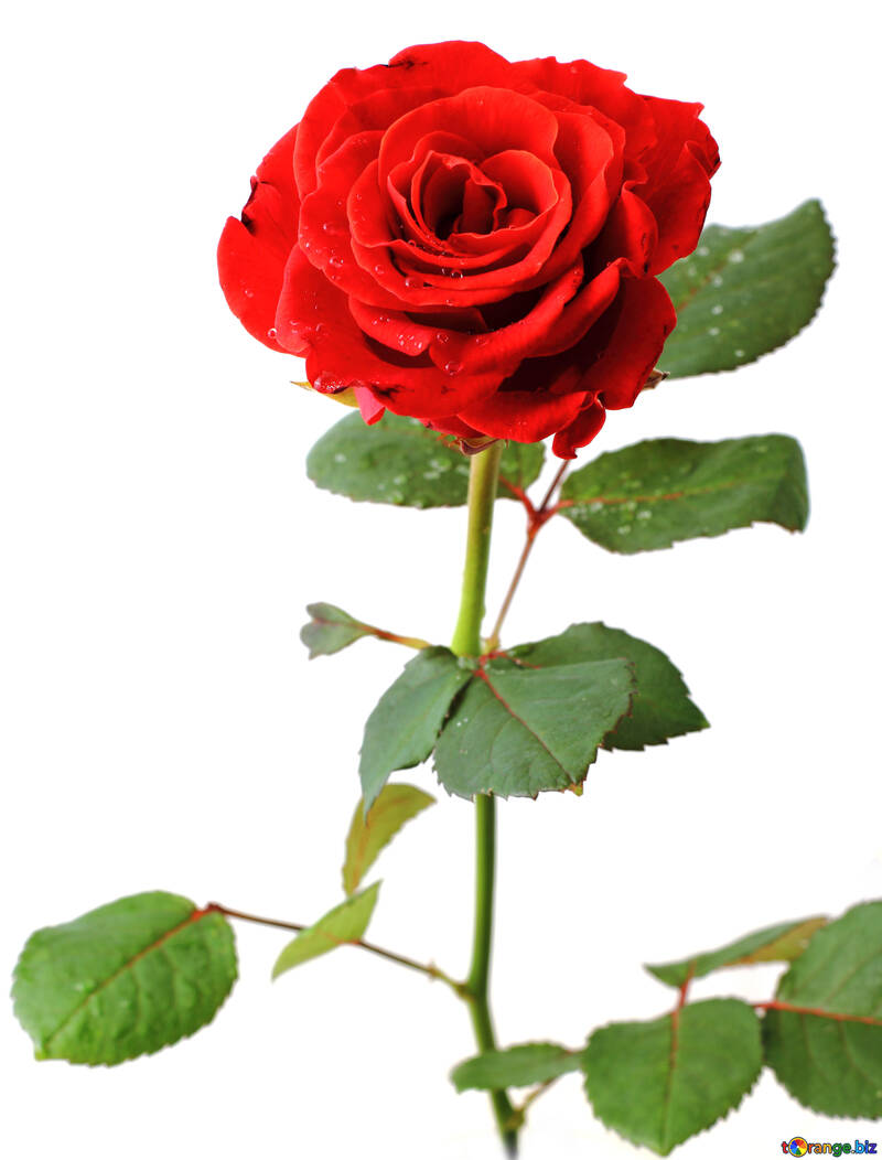 Rose auf weißem Hintergrund №17028