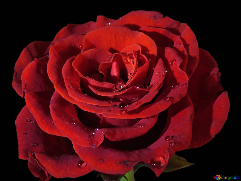 Rose flower on black №17094