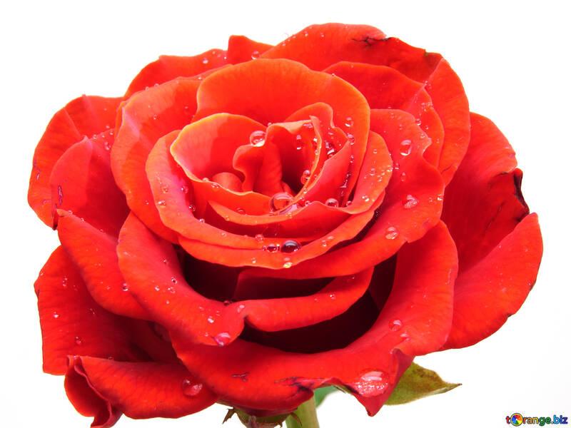 Rose flower white №17097