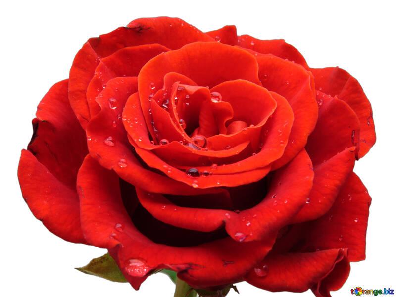 Große rosafarbene blume rose blume im weißen hintergrund makro № 17096
