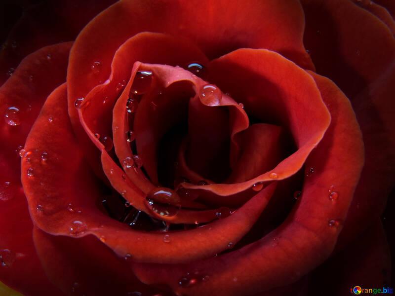 Rose on the desktop №17088