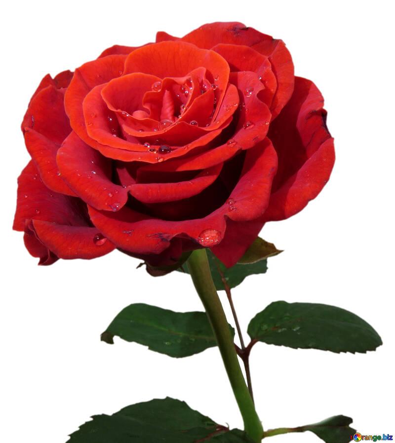Rose-Postkarte №17090
