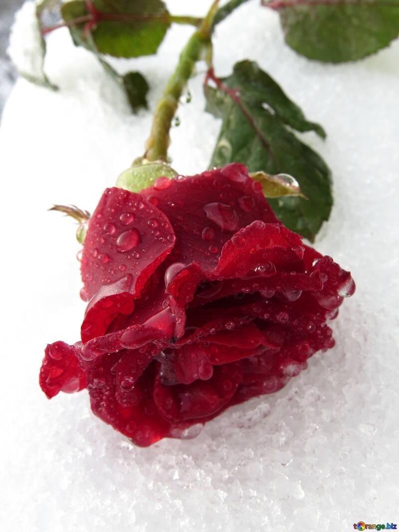 Hiver rose №17010